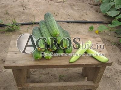 Семена огурца Аякс F1 1000 шт