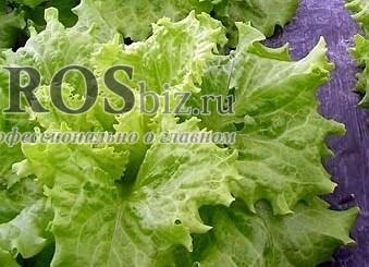 Семена салата Хагин