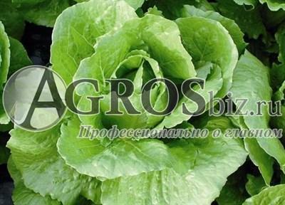 Семена салата Бацио  5000 шт (драже)