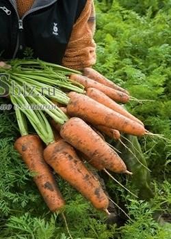 Семена моркови Кордоба F1 250 000 шт калибр 2,0-2,2