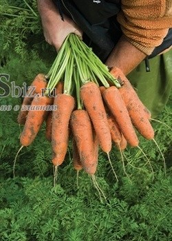 Семена моркови Кардифф F1 500 000 калибр 1,8-2,0