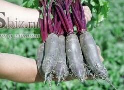 Семена свеклы цилиндрической Таунус F1 50 000 шт