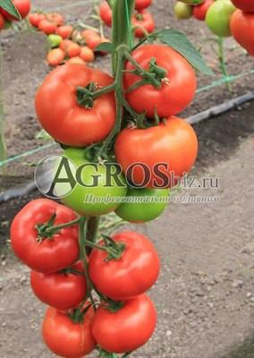 Семена томата Агилис F1 500 шт