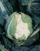 Семена цветной капусты Кортес F1 2500шт