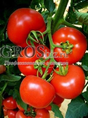 Семена томата Белфаст F1 500 шт