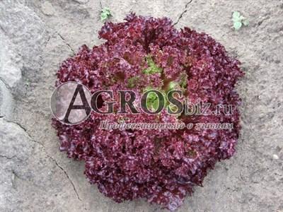 Семена салата Туска 5000 шт (драже)