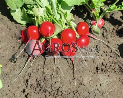 Семена редиса Роксана F1 5 000 шт (калибр. 2,75-3,00 мм)