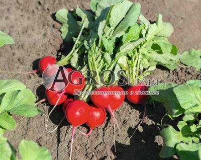 Семена редиса Рочас F1 5 000 шт (калибр.  2,50-2,75 мм)