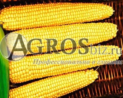 Семена кукурузы ГСС 3071 F1 100 000 семян