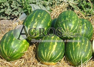 Семена арбуза Тамерлан F1 1000 шт