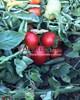 Семена томата Усмань F1 1000 шт - фото 10014