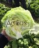 Семена салата Глендана 5000 шт (драже) - фото 10021