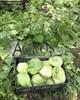 Семена салата Глендана 5000 шт (драже) - фото 10024