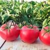 Семена томата Хапинет F1 1000 с - фото 10028