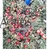 Семена томата Хапинет F1 1000 с - фото 10033