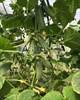 Семена огурца Туми F1 500 шт - фото 10039
