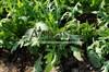 Семена руколы Летиция 5000 шт (мультидраже) - фото 10097