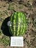 Семена арбуза Астрахан F1 1000 шт - фото 10116
