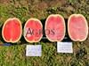 Семена арбуза Астрахан F1 1000 шт - фото 10118