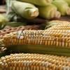 Семена кукурузы Ракель F1 5000 шт - фото 10130