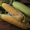 Семена кукурузы Ракель F1 5000 шт - фото 10131