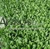 Семена шпината Шелби F1 100 000 шт - фото 10135