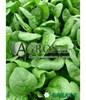 Семена шпината Аполло 500 г - фото 10137