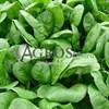 Семена шпината Аполло 500 г - фото 10138