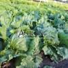 Семена салата Эдуардо 5000 шт (драже) - фото 10148