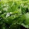 Семена салата Эдуардо 5000 шт (драже) - фото 10149