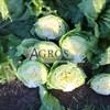 Семена салата Эдуардо 5000 шт (драже) - фото 10150
