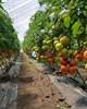 Семена томата Агилис F1 500 шт - фото 10503