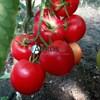 Семена томата Агилис F1 500 шт - фото 10504