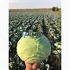 Семена капусты Саксесор F1 2500 шт - фото 10567