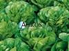 Семена салата Пиноккио 5000 шт (драже) - фото 10603