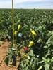 Семена перца Кантатта F1 1000 шт - фото 10685