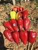Семена перца Кантатта F1 1000 шт - фото 10686