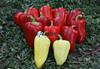 Семена перца Кантатта F1 1000 шт - фото 10689