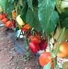 Семена перца Оида F1 1000 шт - фото 10690