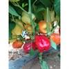 Семена перца Оида F1 1000 шт - фото 10691