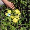 Семена перца Оида F1 1000 шт - фото 10693