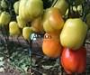 Семена перца Оида F1 1000 шт - фото 10694