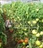 Семена томата Берберана F1 500 шт - фото 4891