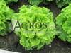 Семена салата Гранд Рапидс Перл Джем 5 г (5000 шт) - фото 8053