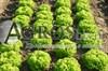 Семена салата Касабелла
