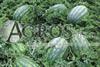 Семена  арбуза Леди F1  1000 шт - фото 8819