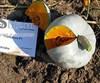 Семена тыквы Сампсон F1 500 шт - фото 8929