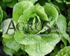 Семена салата Бацио  5000 шт (драже) - фото 8941
