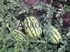 Семена арбуза Тамтам F1 1000 шт - фото 9170