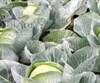 Семена капусты Агрессор F1 2500шт - фото 9253